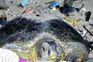 Nhiều rác thải nhựa trong dạ dầy một con rùa xanh tại Thái Lan