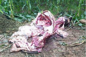 Lào Cai: Truy tìm đối tượng trộm trâu của người dân xẻ lấy thịt