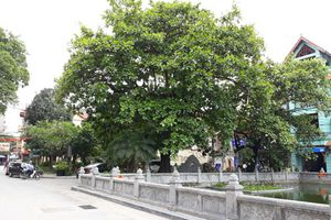 Cây di sản - không gian xanh của Thủ đô
