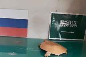 Rùa vàng Hà Nội dự đoán trận Nga vs Ả-rập Saudi