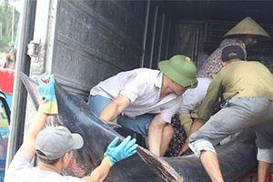 Ngư dân Nghệ An bất ngờ bắt được cá kìm cờ nặng 2,5 tạ