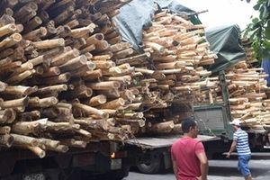 Xử phạt nhiều xe chở gỗ tràm quá khổ, quá tải ở Huế