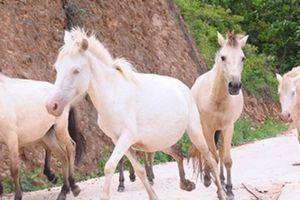 'Vương quốc' bạch mã lớn nhất đất Việt: Nuôi ngựa trắng lên đời đại gia