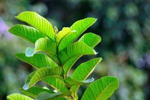 Loại lá giúp bạn giảm mỡ bụng nhanh hơn cả đi thẩm mỹ viện