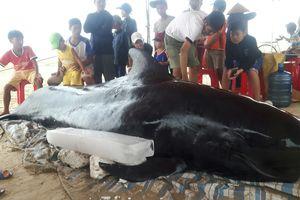 Quảng Ngãi: Cá voi nặng gần nửa tấn trôi dạt vào bờ