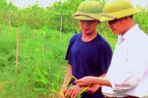 Chỉ 2 sào măng tây xanh, hái mầm mỗi ngày, thu 12-18 triệu/tháng