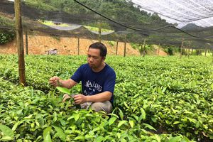 Phát triển cây quế theo hướng bền vững ở Lào Cai