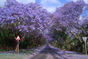 Trải nghiệm đặc biệt: Ngắm hoa phượng tím khi xuân về ở Nam bán cầu