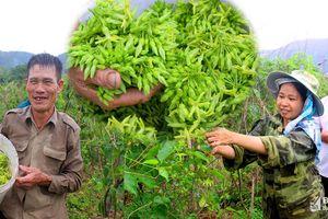 Hoa lý tăng giá kỷ lục, nông dân Nghệ An thu tiền triệu mỗi ngày