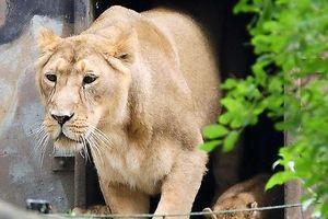 Sư tử sổng chuồng, khách tham quan tán loạn tìm nơi trốn