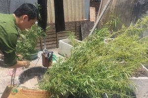 Phát hiện vườn cần sa trên mái nhà đối tượng tàng trữ ma túy
