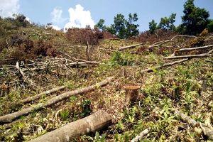 Hoãn xử vụ phá rừng An Lão do vắng nhân chứng