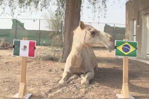 Lạc đà nổi tiếng Shaheen dự đoán Brazil hạ gục Mexico
