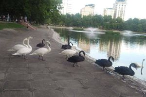 Đàn thiên nga ở hồ Thiền Quang 'vật lộn' với trời nắng nóng 40 độ C ra sao?