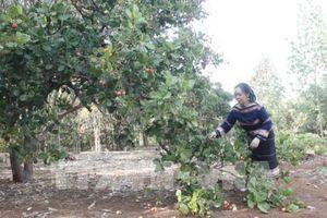 Các nông hộ chưa 'mặn mà' với nguồn vốn vay ưu đãi tái canh cà phê