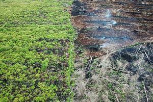 Ngành công nghiệp dầu cọ hủy hoại môi trường sống