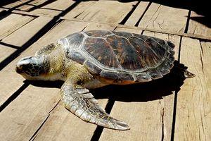 Thả rùa quý hiếm nặng 40 kg mắc lưới ngư dân về biển