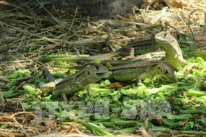 Ninh Thuận phát triển nuôi dông thương phẩm