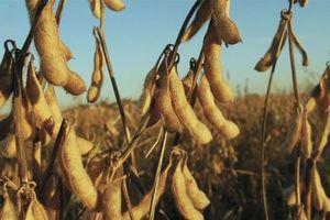 Trung Quốc giảm mạnh nhập khẩu đậu tương Mỹ