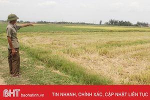 Hà Tĩnh có khoảng 800ha lúa hè thu bị hạn cục bộ