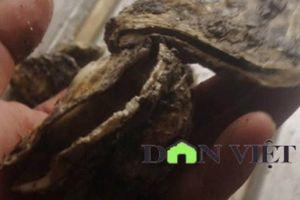 Chủ hàng mếu máo vì 7 tấn hàu bị hỏng sau 1 ngày bị công an tạm giữ