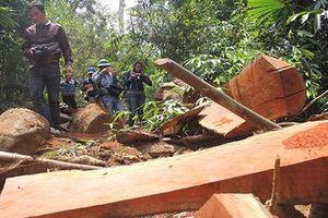 Truy nã 2 đối tượng tổ chức phá rừng lim cổ thụ