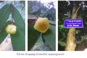 Phát hiện 2 loài trà mi hoa vàng cho khoa học tại Vườn QG Vũ Quang
