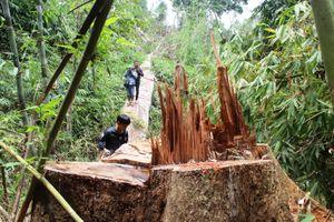 Truy nã hai đối tượng chủ mưu vụ phá rừng lim hàng trăm năm tuổi