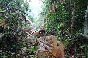 Truy nã hai đối tượng chủ mưu phá rừng lim xanh ở Quảng Nam