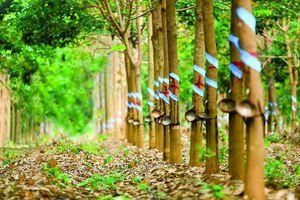 Giá cao su giảm, IPO Cao su Đắk Lắk gặp khó