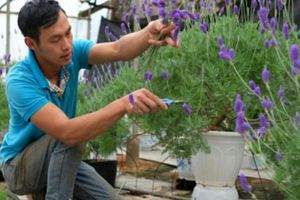Chẳng cần đến Pháp xa xôi, đến nơi này có cả đồng lavender tím rịm