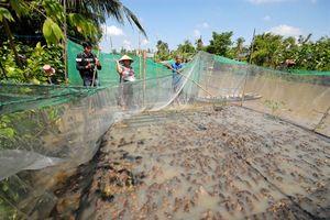 Cận cảnh nuôi ếch thành tỷ phú ở vùng Đồng Tháp Mười