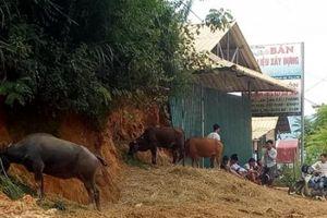 Sơn La: Chợ trâu bò không phép ngang nhiên tồn tại nhiều năm trời