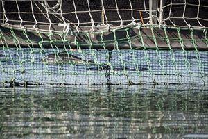 Một triệu cá hồi xổng lồng: Mối nguy cho hệ sinh thái