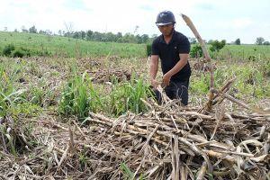 Đắk Lắk: Nhà máy 'thất hứa', nông dân khóc ròng nhìn mía khô héo