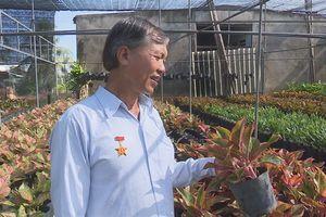 Cây Phú quý lá đỏ hút hàng