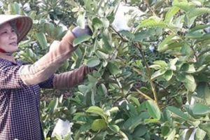 Bí quyết trồng ổi với phân bón 'ba lá cọ' Lâm Thao