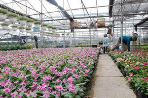 Làng hoa Xuân Quan, điểm đến mới 'hút' khách du lịch