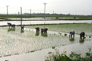 Khẩn cấp cứu lúa mùa mới gieo cấy