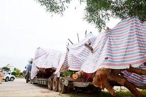 Tình tiết bất ngờ vụ xe chở cây 'khủng' bị CSGT tỉnh Quảng Ngãi tạm giữ