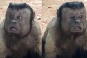 Kinh ngạc với chú khỉ có gương mặt giống y hệt người đàn ông khổ đau