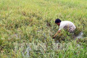 Giá lúa ở Kiên Giang giảm do ảnh hưởng mưa bão