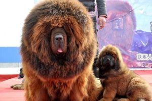 Vụ chó ngao Tây Tạng cắn bé gái tử vong: Kẽ hở đưa các giống chó ngoại về Việt Nam