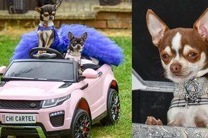 5 chú chó sành điệu xài toàn hàng hiệu, đeo ngọc trai và đi siêu xe