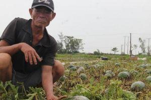 Dưa hấu thối rữa sau mưa lũ, nông dân đành cho bò ăn
