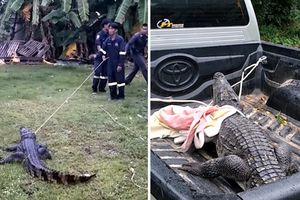 Vào nhà dân kiếm thức ăn, cá sấu 'nổi điên', chống trả quyết liệt khi bị quây bắt