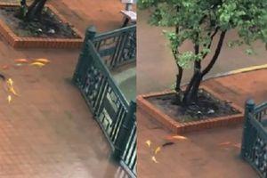 Clip: Đàn cá vàng tung tăng bơi giữa sân trường gây thích thú