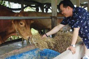 Liều nuôi loài bò ngoại nặng tới 1 tấn, 10 tháng lời gấp đôi