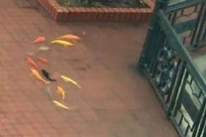 Cá vàng kéo nhau bơi tung tăng trong sân trường ở Hải Phòng