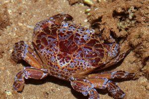 Đi biển, tuyệt đối không ăn những loại cua chứa độc chết người này